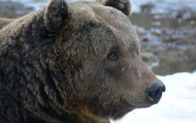 Punct de vedere în cazul filmării cu ursul din Schei
