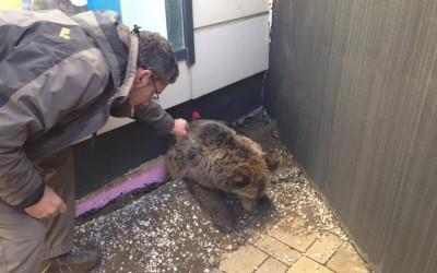 Bear Rescued from a shopping area in the city of Brasov