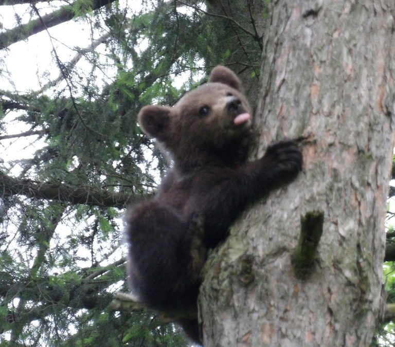 Saving a bear cub – Dâmbul Morii – C3 Activity