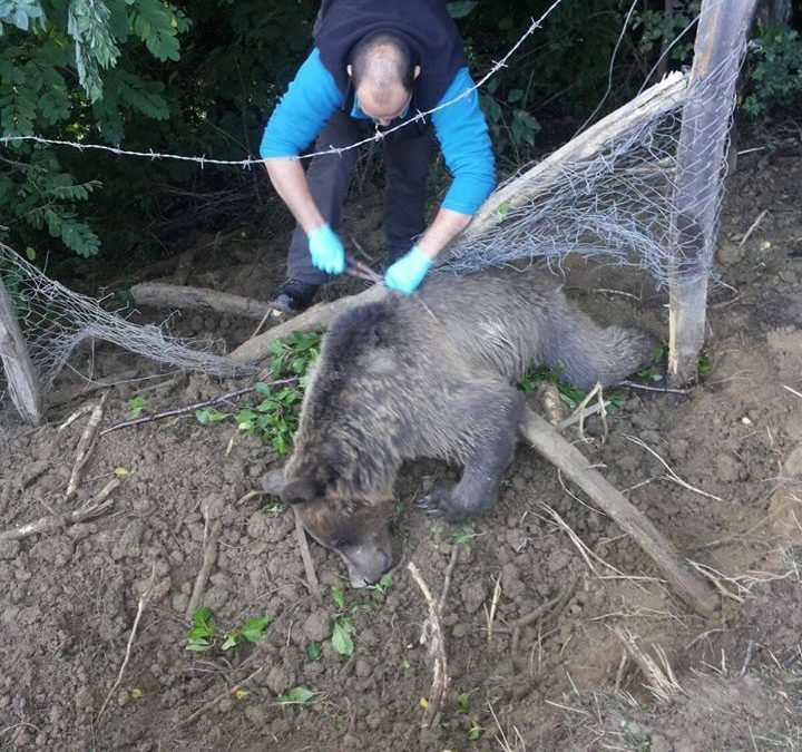 Rescuing bear from FV 33 SIRIU