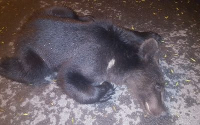 Final fericit pentru ursuleţul care s-a plimbat pe străzile Braşovului, datorită colaborărilor, procedurilor şi autorizaţiilor primite prin proiectul LIFE FOR BEAR.