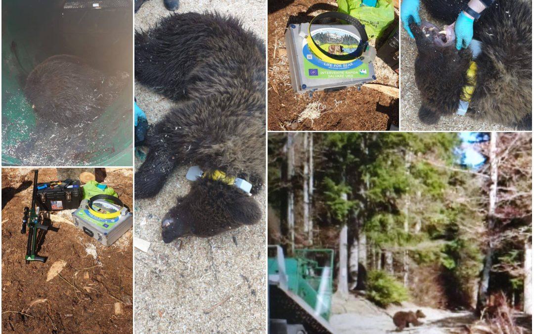 Relocare urs – Bușteni, 18.03.2019 – zona Castel Cantacuzino