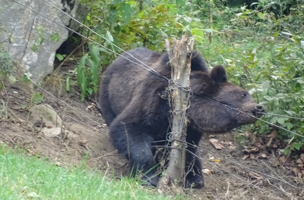 Bear Team-Acțiune de eliberare urs,zona Bâsca Rozile