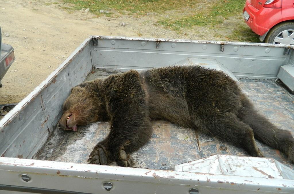 Bear Team-Acțiune de eliberare urs,Zăbala