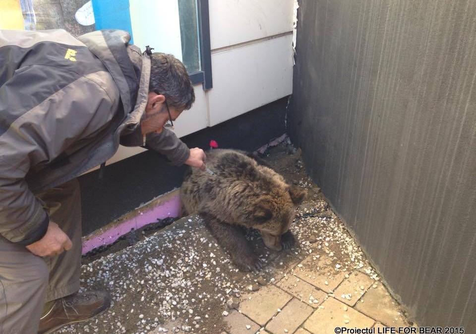 Acţiune de salvare urs dintr-o zona comercială din orașul Brașov