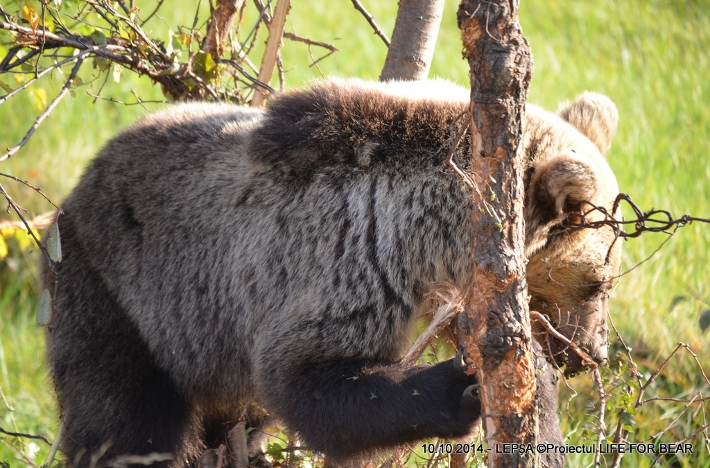 Bear Team-Acțiune de eliberare urs Tulnici,Lepșa