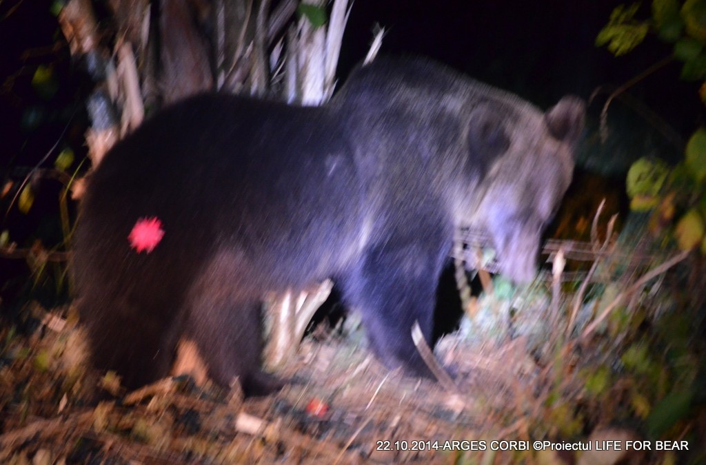 Bear Team- Intervenție salvare urs Argeș