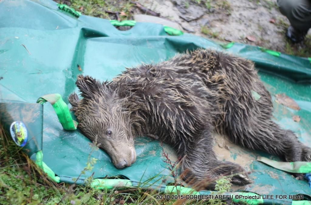 Bear Team- Salvare urs Corbesti, Arefu