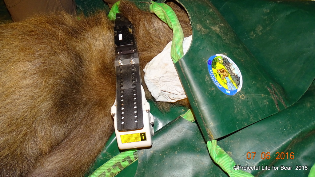 Trapping – Relocating Bear- C3 Activity