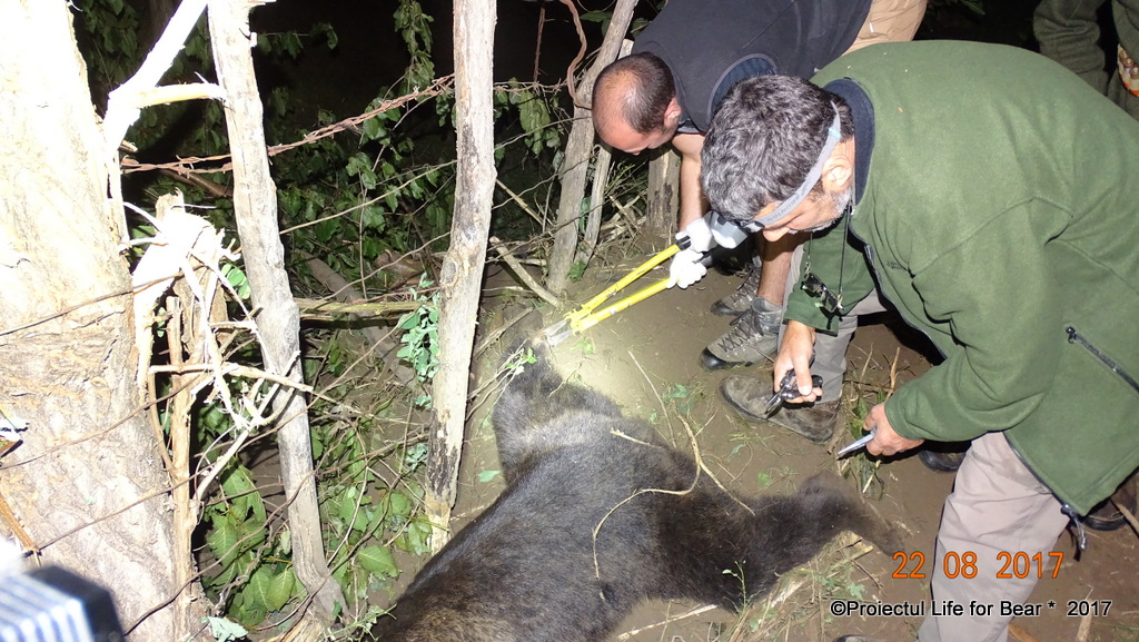 Bear released from snare, Prahova County, Romania, 22aug2017